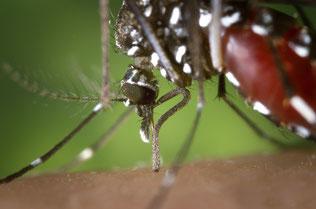Mücken gelten als Hauptüberträger des Zika-Virus