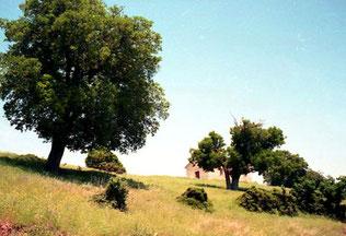 Mächtige Bäume, dazwischen in Kapelle