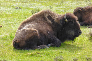 Bison at Yellowstone resting
