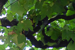 Port wine grape vines