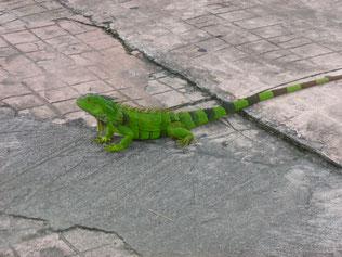 Iguana mitten in Marigot