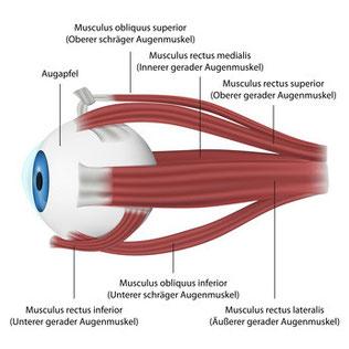 Augenmodell mit Muskeln