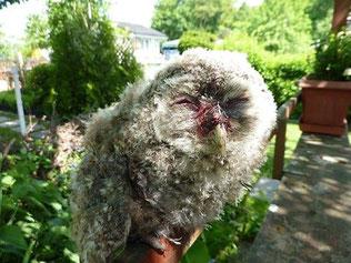 Dieser Jungvogel wurde auf dem Friedhof Gohlis Opfer einer Katze. Er wurde von der Wildvogelhilfe des NABU Leipzig in die Vogelklinik der Universität gebracht. Fotos: NABU Leipzig