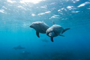 利島の野生イルカ ミナミハンドウイルカ