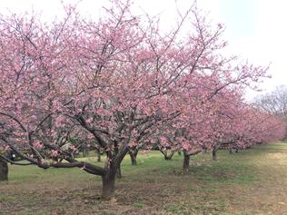 河津桜 写真 城址公園