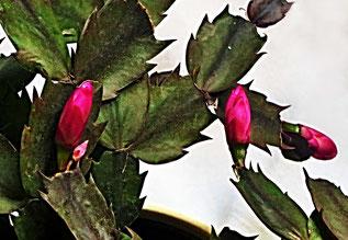 12. April 2016 - Wie aus Pfingsten Weihnachten wird, zeigt unser Kaktus