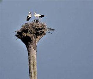 Storchennest mit Störchen, Haus Vogelsang, Datteln