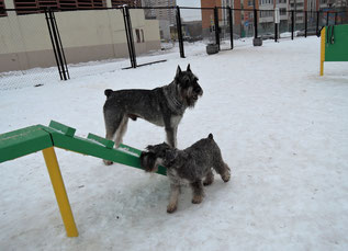 Harley and Alf on the dog playground, 15/02/15, Russia, Moscow
