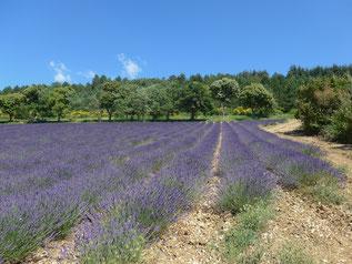 Champs de Lavande à Aurel proche Sault en Provence
