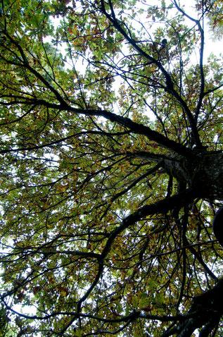 Blätterdach eines Baumes, Naturgewalt, Schutz, Einssein mit der Natur