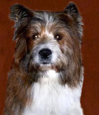 Hunderasse mittelgroß wuschelig Elo Familienhund