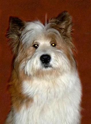 Hunderasse mittelgroß Familienhund freundlich wuschelig