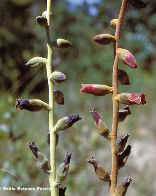Dyckia atratiflora