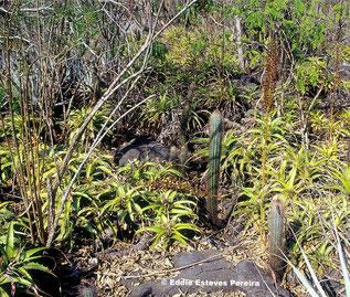 Encholirium viride, Typstandort / type habitat / habitat do tipo
