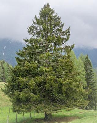 Zirbenbaum - Zirbenkiefer - Arve - Königin der Alpen