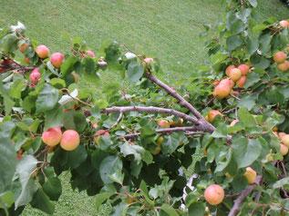 Marillenbaum mit Früchten