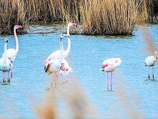 Flamants sur l'étang des salins de Rassuen