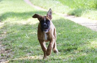 Boxer Hund vonderwaldnielerheide Ausdauerprüfung