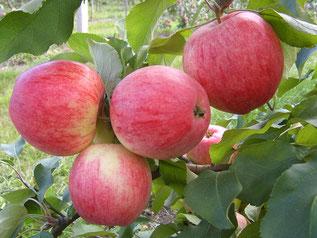 купить плодовые саженцы в Клину
