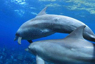 ダルマザメの跡がある御蔵島のイルカ達