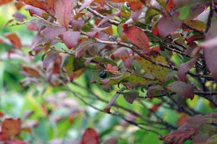 ナツハゼ(夏櫨)の紅葉