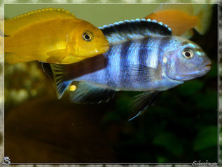 Couple Pseudotropheus saulosi