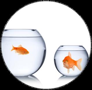 Zwei Goldfische leben in zwei verschiedenen Vasen und sollen durch Paartherapie Berlin wieder in Austausch gelangen.