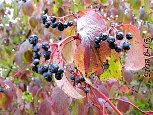 Früchte des Roten Hartriegel