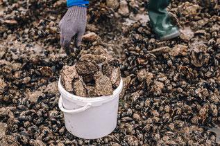 Austern im dänischen Wattenmeer. Foto: PR/Thomas Høyrup Christensen