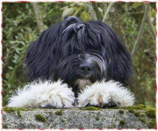 """meine Schapendoeshündin """"Xissi Paoline"""" lebt bei der lieben Hannelore und wird Hundesport machen"""