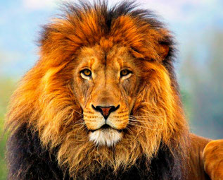lion, african lion, lion facts, the lion king