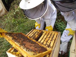Cuadro de puesta repleto de abejas. Foto (CC): Les Colmenes de Tate/ Ecoportal