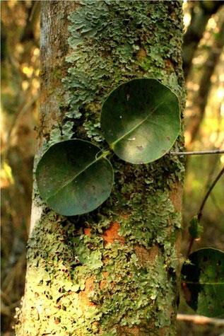 アフリカンツリーミスト サフランウッド 安らぎの木