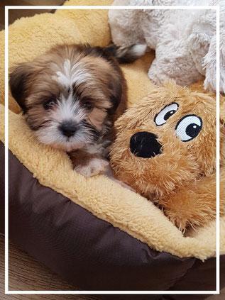 gezelschapshonden-puppies
