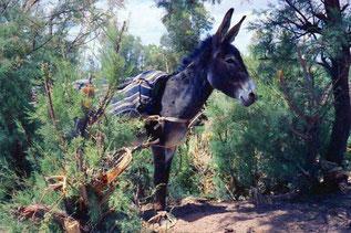 im Schatten wartet geduldig der Esel