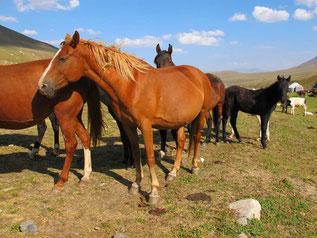 die kirgisischen Pferde immer in Gruppen geteilt