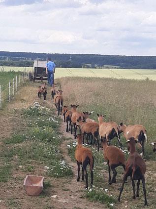 Schafe kaufen Kamerun Schaf Barbados Blackbelly Schafe verkaufen