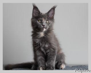 мейн-кун, котята, котёнок мейн-кун, питомник, продажа котят