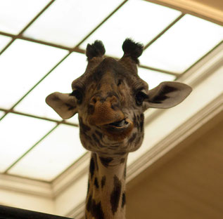 Giraffe Sommerkafi Sool