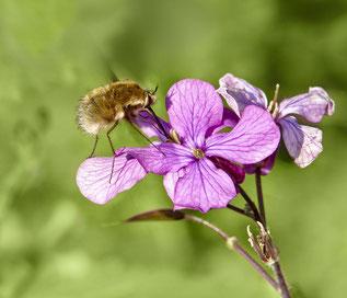 Wollschweber gehören zu den Fliegen und parasitieren bei  den Larven verschiedener Wildbienenarten. Auffällig ist der starre, lange Rüssel