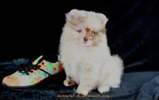Pomeranian Hündin Voxy Lady von der Arnold's Eiche.