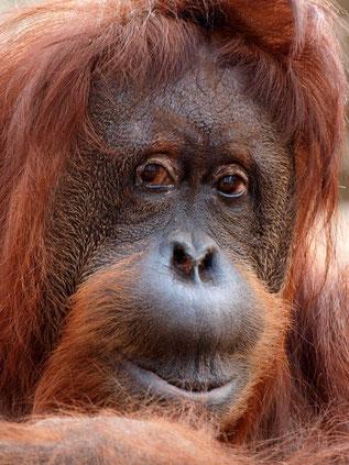 Der großflächige Anbau von Ölpalmen zerstört den Lebensraum zahlreicher Tier- und Pflanzenarten. Auch die Orang-Utans verlieren ihre Heimat. Foto: Dirk Röttgen/pixelio.de