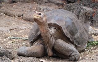 El solitario George, el único ejemplar de la tortuga gigante de Pinta (Chelonoidis abingdonii) que quedaba en el mundo, falleció en 2012./ Tiago Duarte