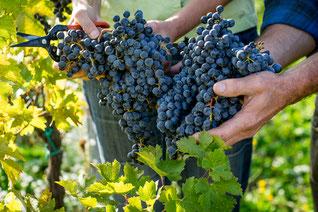 biodynamic grapes, cabernet saucignon, cabernet franc