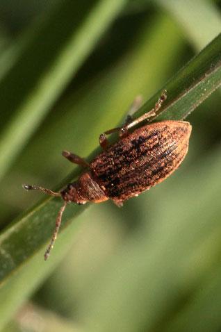 Birnen-Grünrüssler - Phyllobius pyri;  ca. 4 - 5 mm; ruhend auf einem Acker-Randstreifen bei Langensteinbach (G. Franke, 20.04.2021) Bestätigung der Art durch kerbtier.de #252201