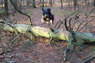 Leon springt über liegenden Baumstamm