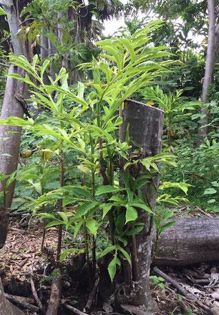 'Ulu shoots Amy Greenwell Garden Hawaii