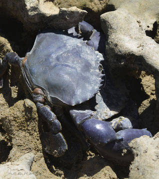 honourebel basis unter der oberflaeche integritaet bild zeigt blauen krebs im sand