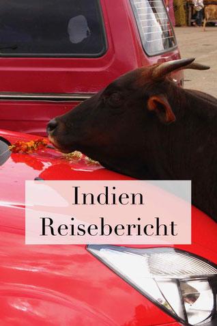Reisebericht Indien Urlaub: Heilige Kühe im Land, Erfahrungen.