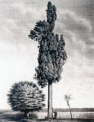 Die Pyramideneiche bei Harreshausen (1895)